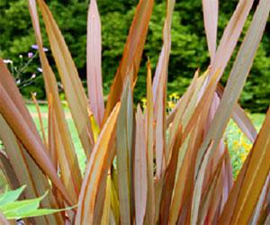Palmen Phormium stammer fra New Zealand