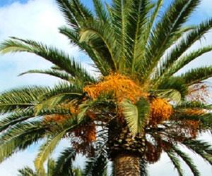 Phoenix Canariensis palme