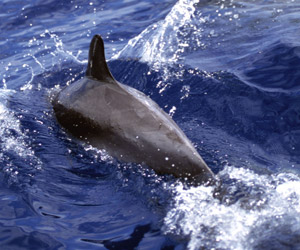Delfin, Azorerne