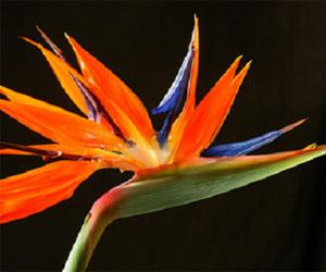 Stretlitzia Regina eller Paradisfuglen fra Sydafrika