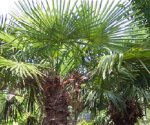 Trachycarpus Fortunei palme fra Kina